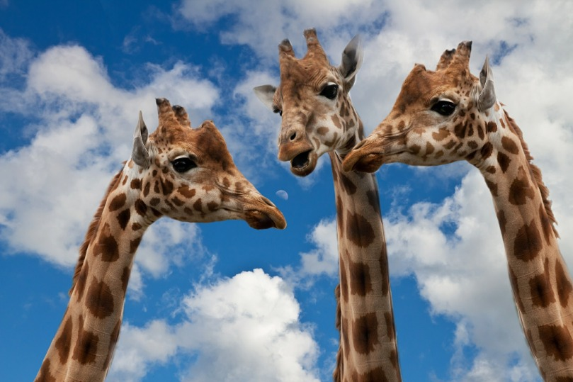 giraffes-627031_1920